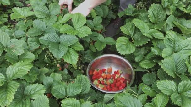 Muž sběr zralé jahody v kovové míse během sklizně čas v zahradě. Jahodová v ovocné zahradě. Mísa naplněná čerstvými červenými jahodami