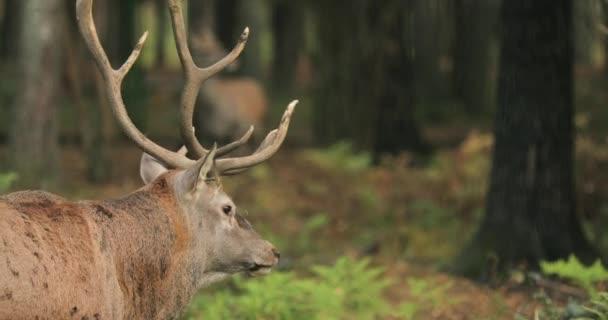 Fehéroroszország. Férfi európai gímszarvas vagy Cervus Elaphus van üvöltés közben Rut. Gímszarvas Európa, a Kaukázus régióban, Ázsia egyes részein, a legtöbb él. Az őszi erdő üvöltő férfi szarvas