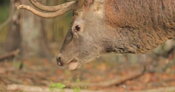 Bělorusko. Mužské Evropské jelen nebo Cervus Elaphus pastvě, krmení, jíst v lese podzim. Red Deer obývá většinu Evropy, Kavkazu regionu, části Asie