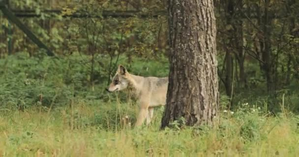 Belarus. Forest Eurasian Wolf - Canis Lupus Running In Autumn Forest