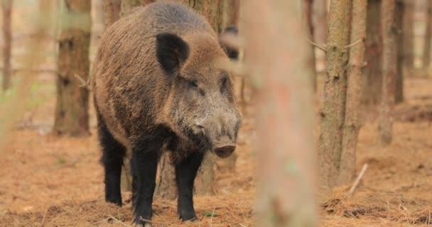 Fehéroroszország. Vaddisznó vagy Sus Scrofa, más néven a vaddisznó, eurázsiai vaddisznó szaglászik levegő őszi erdőben. A vaddisznó elég őshonos Eurázsia nagy részén.