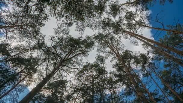 Felnézett a Oine fenyvesekben fák erdő lombkorona. Alsó nézet nagylátószögű hátterére. Greenwood erdő