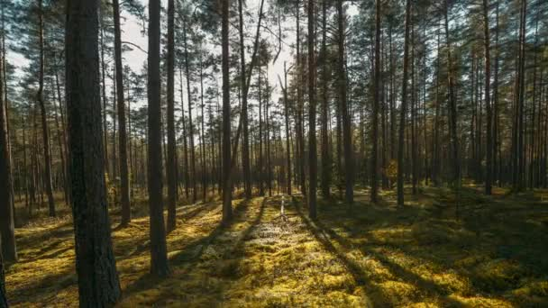 Krásný západ slunce sluníčko v slunné letní jehličnatého lesa. Sluneční světlo slunečních paprsků Shine lesem v lesní krajině