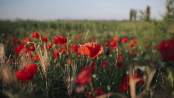 Kvetoucí červené květy máku na hřišti v jarní slunečný den