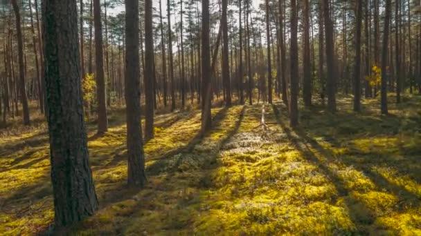 Bellissimo tramonto sole Sunshine In foreste di conifere di sole estivo. Luce solare raggi di sole splendere attraverso boschi nel paesaggio della foresta