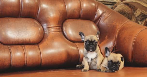 Két fiatal francia bulldog kutya kiskutya ül a vörös kanapén a házban. Vicces kutya baba.