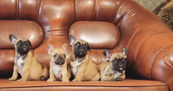 Skupina mladých francouzských buldoků pejsek štěňátka sedí na červeném pohovce Indoor. Funny Dog Babies