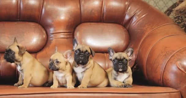 Csoport fiatal Francia Bulldog kutya kölyök kiskutya ül, pózol a piros kanapé fedett. Vicces kutya babák.
