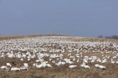 Fotografie A field of snow geese