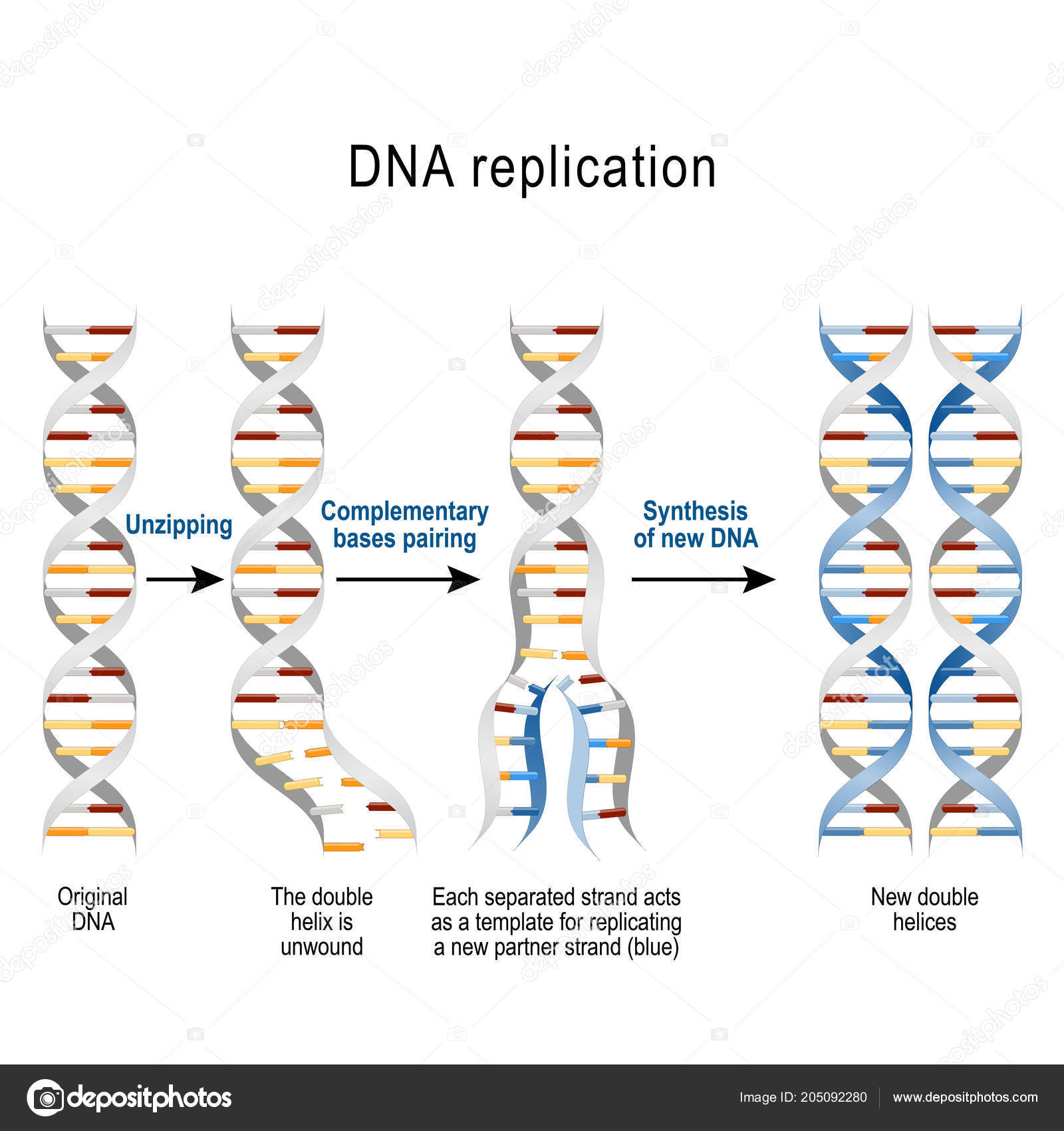 Dna Replication Steps Double Helix Unwound Each Separated Strand ...