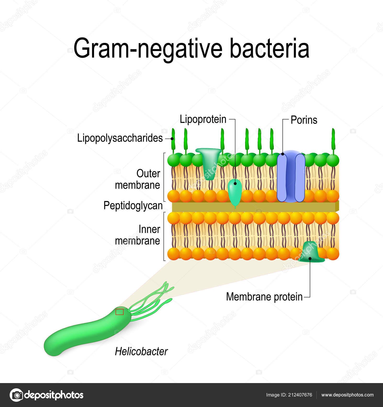 Gram Negative Cell Wall Diagram