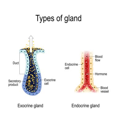 Types of gland. Anatomy of an Endocrine and exocrine glands. different of glands secretion. cross-section. Vector diagram for educational, medical, biological and science use