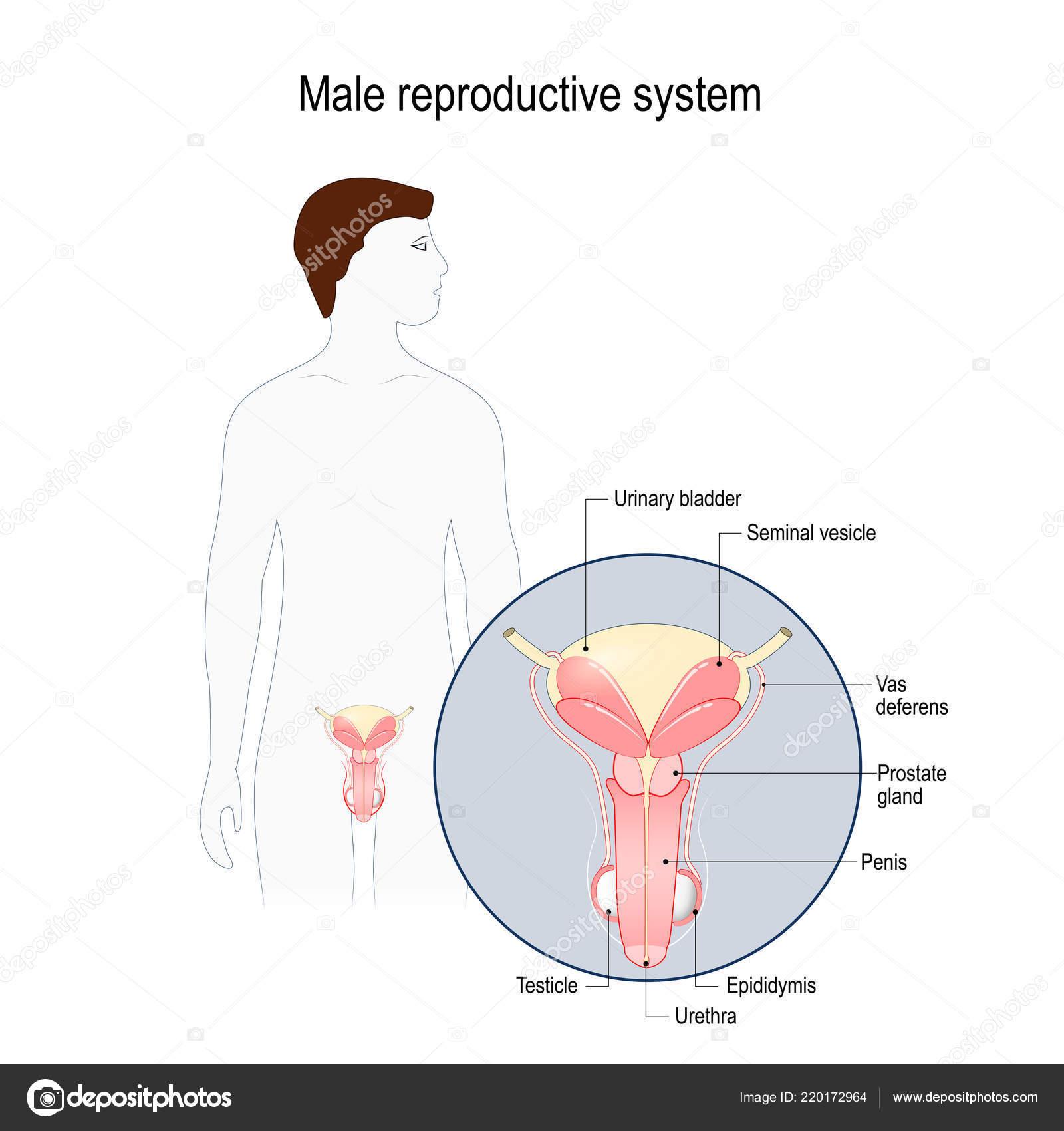Mnnlichen Geschlechtsorgane Samenblase Samenleiter Prostata Hoden