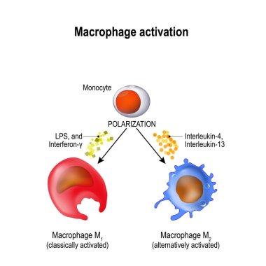 Macrophages are produced by the differentiation of monocytes in tissues. Macrophages M1 encourage inflammation. M2 decrease inflammation. Activation and polarization of the macrophage. Human immune system