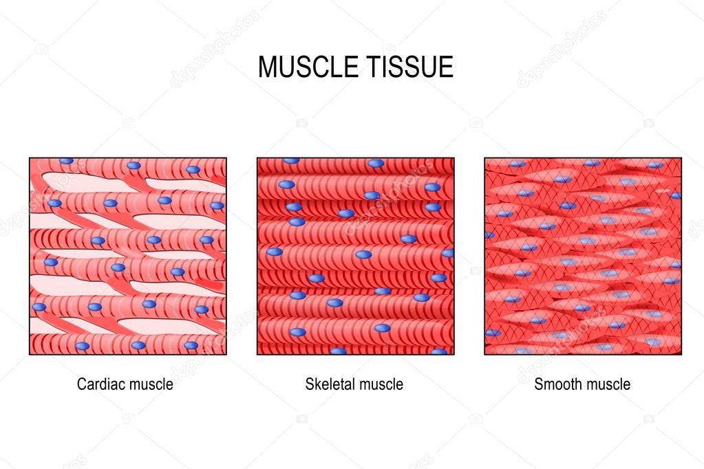 Tecido Muscular M U00fasculo Esquel U00e9tico Liso Trato