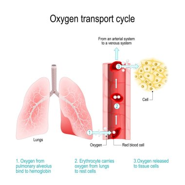 Oxygen transport cycle. Gas exchange in the lung