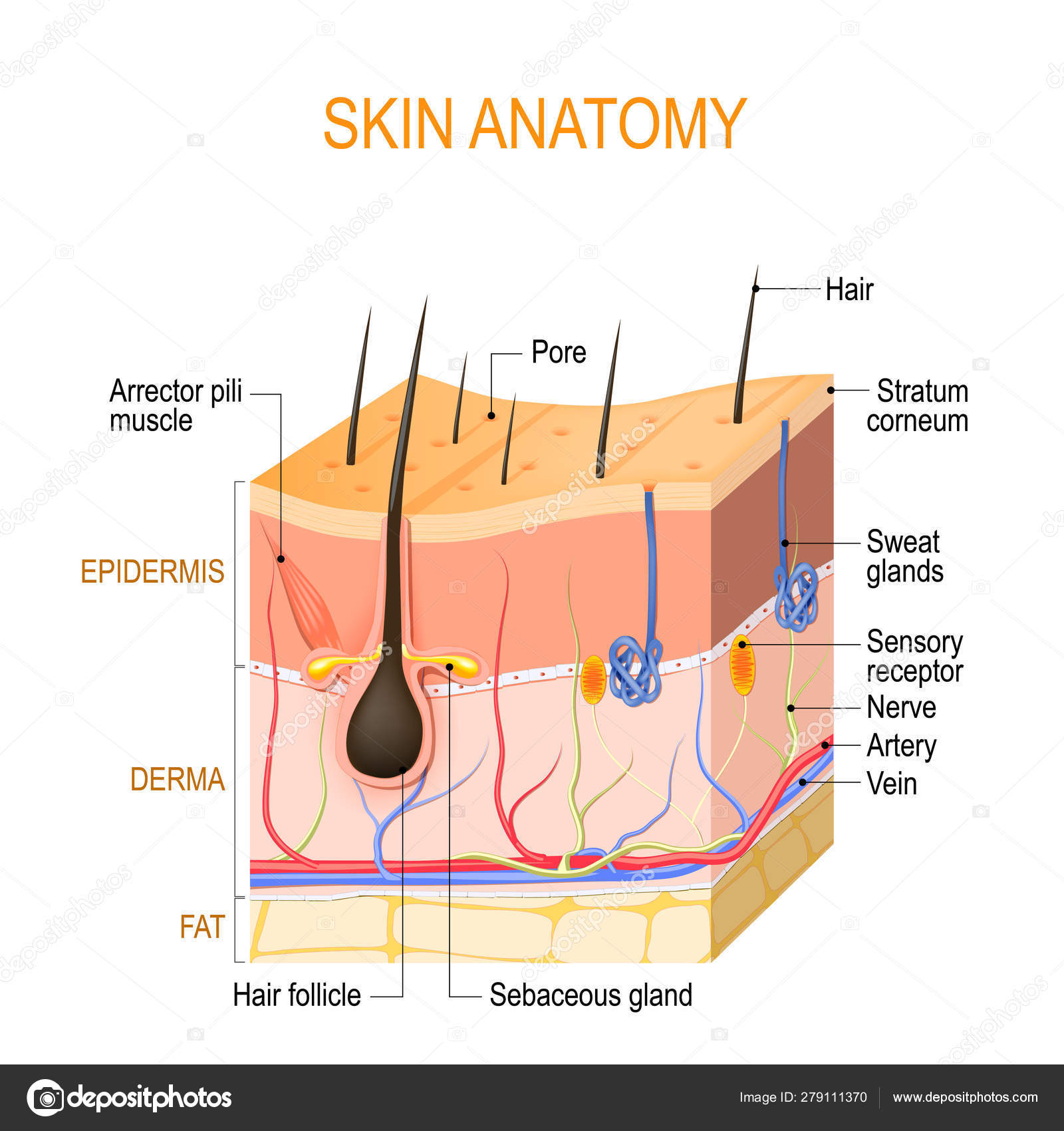 Skin anatomy. Layers: epidermis (with hair follicle, sweat and s ⬇ Vector  Image by © edesignua   Vector Stock 279111370Depositphotos