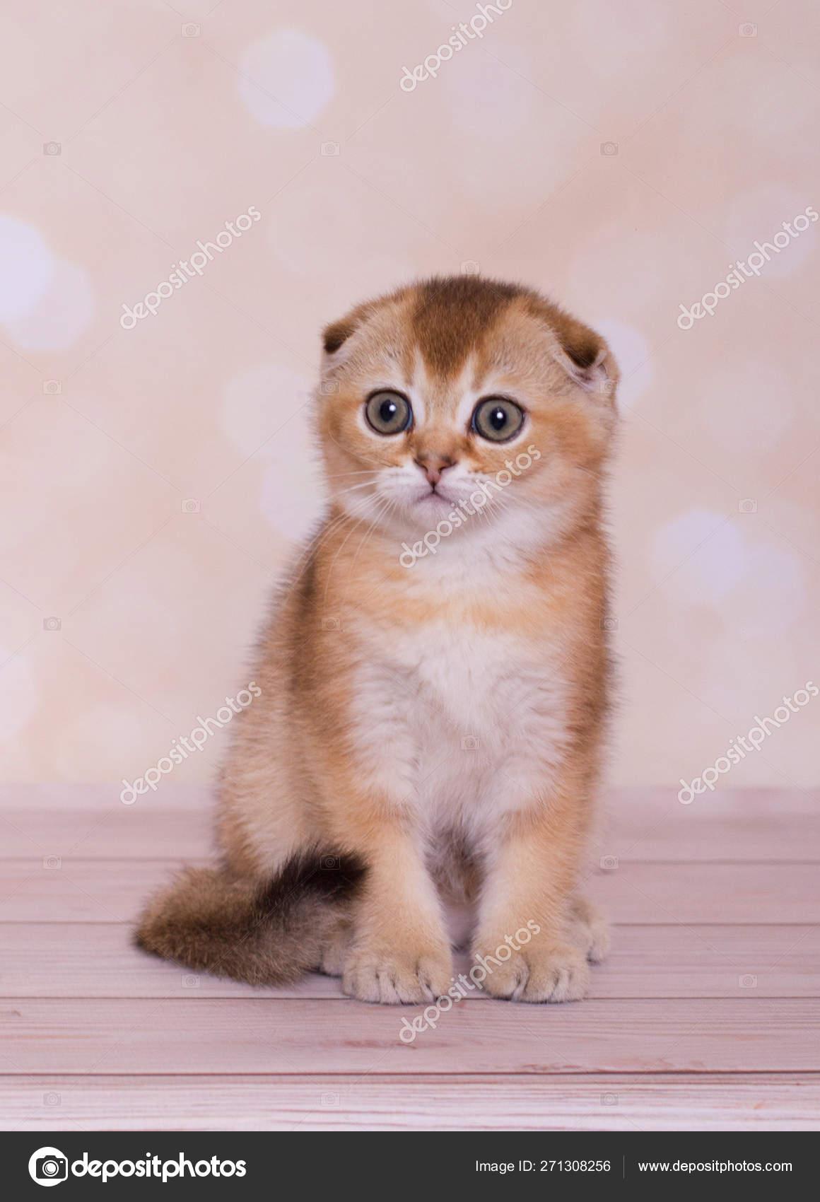 Scottish Fold Kitten Red Color Stock Photo C Plaksina 271308256