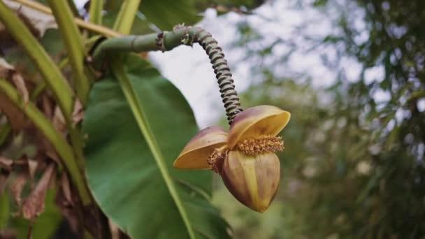 Neobvyklá žlutá Palmová květina visí na šupinaté stopce