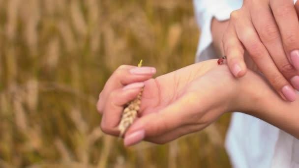 Malá beruška v ženských rukách. Vyleze na pšeničný bodlák. Brouk se plazí po rukou po dívce. Volné místo pro text. Příroda a letní dovolená.