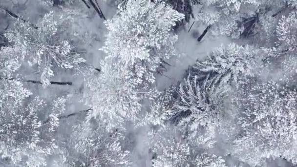 Flying over the winter snow-covered forest at a low altitude. Firs and pines in the snow. Aerial view