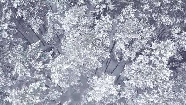 Flying over a beautiful frozen pines and firs in snow forest. Winter. Lots of trees, firewood. Helicopter. Aerial view
