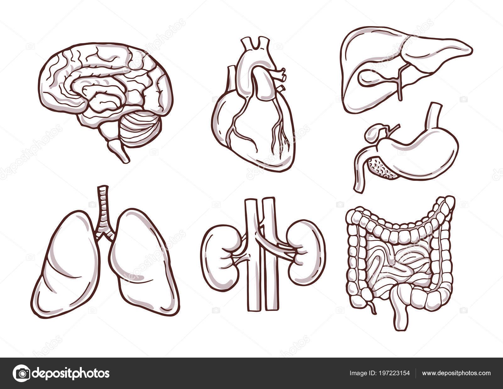 Handgezeichnete Abbildung menschlicher Organe. Medizinische Bilder ...