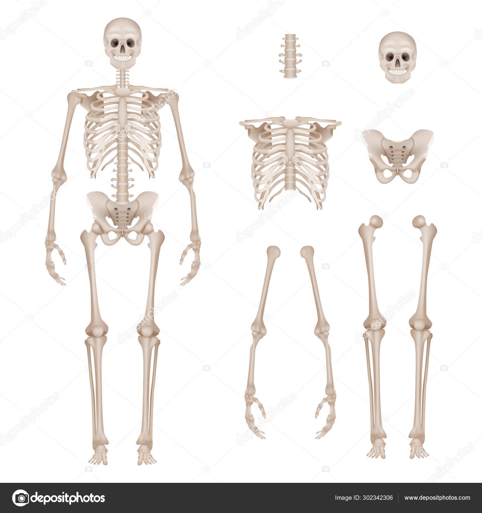 Wonderbaar Menselijk skelet. Lichaam delen schedel botten handen voet WP-69
