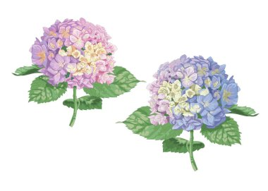 Vector highly detailed realistic illustration of two hydrangea flowers isolated on white. Good for wedding floral design, greeting cards