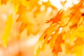 red autumn leaves of oak autumn background