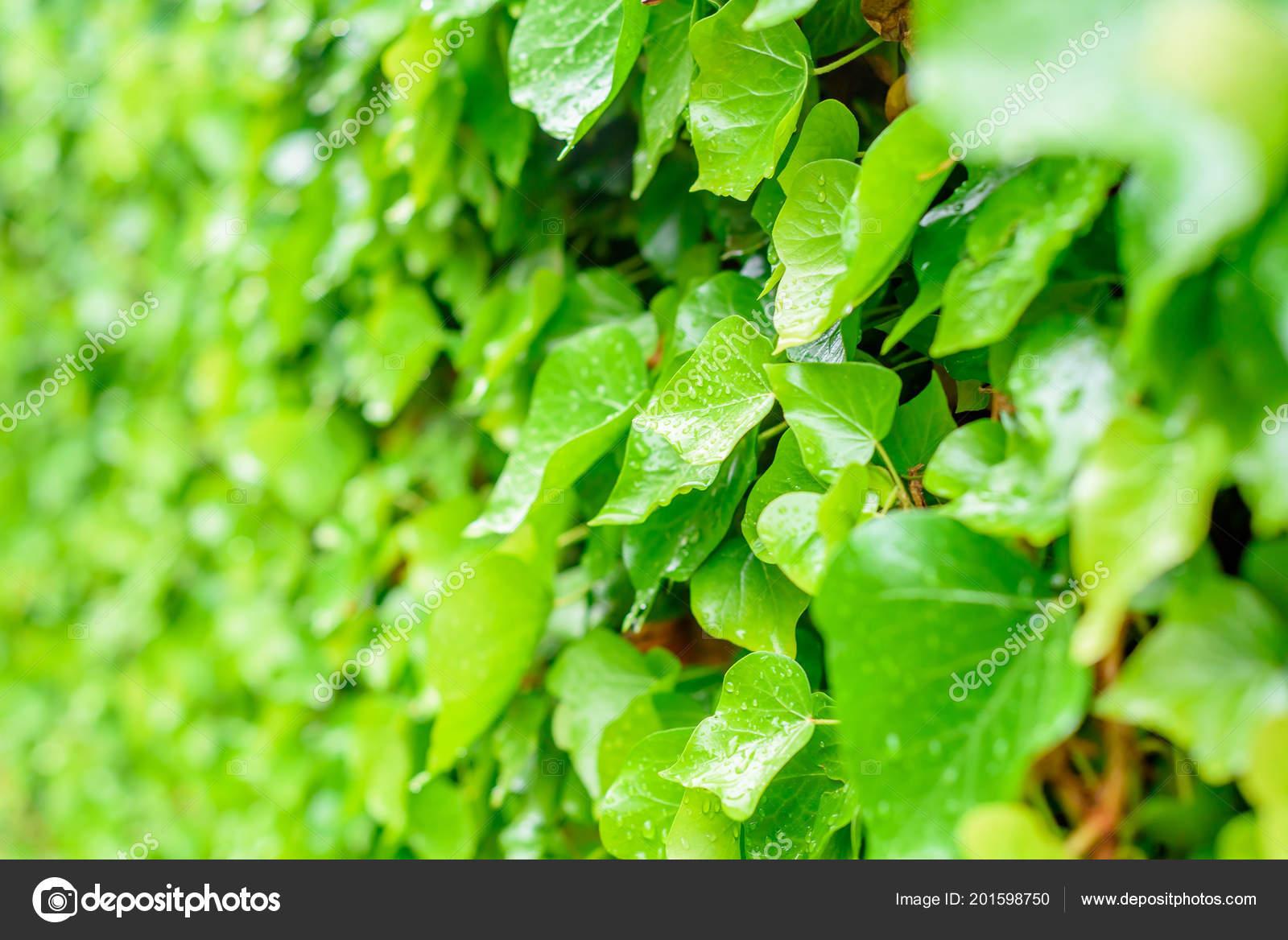 Pianta Verde Sfondo Gocce Pioggia Sulle Foglie Sfondo Verde