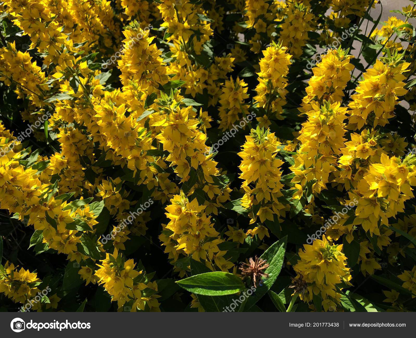 Fluffy Yellow Flower Bushes Bells Garden Stock Photo Angelinache