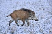 Wild Boar prowling over a field in winter