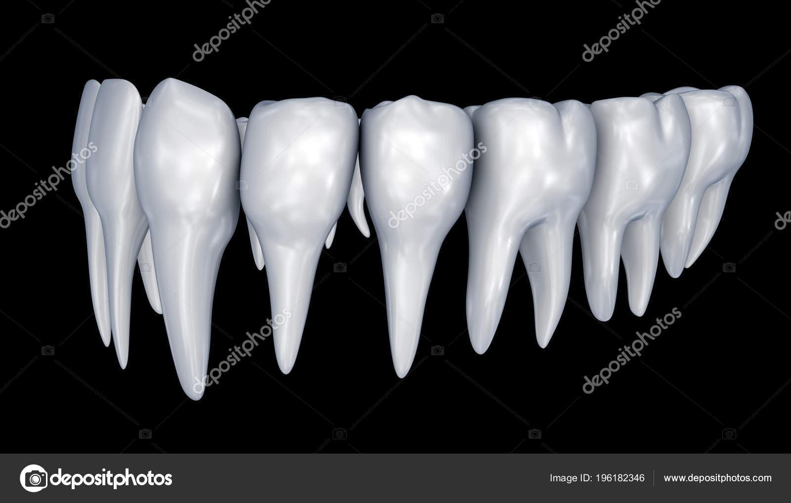 Los Dientes Humanos Instalación Anatomía Dental Médicamente Exacta ...