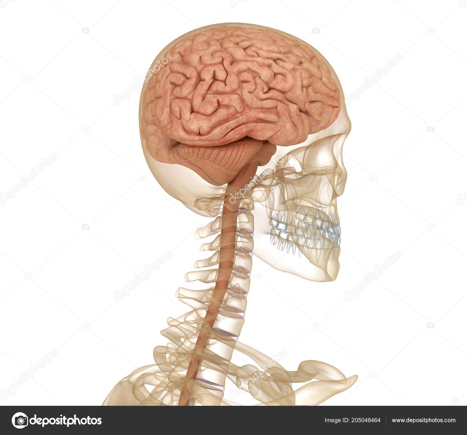 Großzügig Anatomie Des Menschen Fotos - Physiologie Von Menschlichen ...
