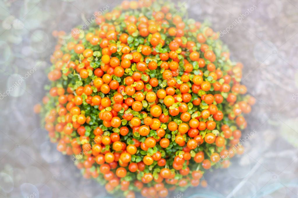 Coralito Coral Bead Plant (Nertera granadensis, pincushion, coral moss, English baby tears flowers), family Rubiaceae - creeping perennial herbaceous plant with bright orange small round fruits on light defocused background