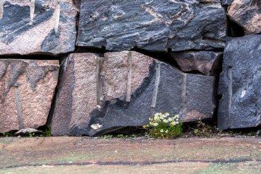 Chamomile flowers grow through seamless stone masonry rectangular granite rocks red and gray shades, natural pattern, background