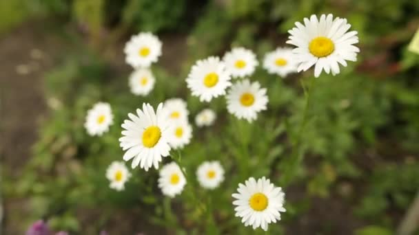 Chamomile flowers close up. Nature of summer, flower fields, wild flower meadow.
