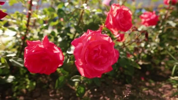 Sok vörös rózsa a szél, a kertben.
