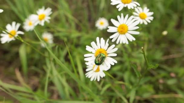 Malý brouk na bílé oko býka-daisy v letní zahradě.