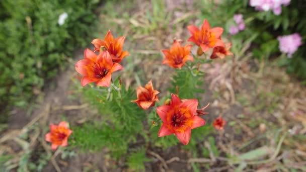Közeli kép a gyönyörű narancssárga tiger-liliom virág.