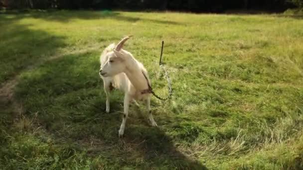 Koza chodí na louce. Slunné letní večer.