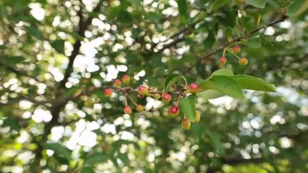 Beautiful unripe cherries hanging on a cherry tree branch. Selecrive focus.