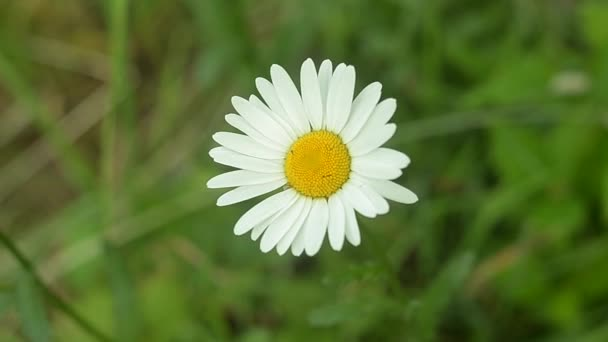 Beautiful Ox-eye daisy in the meadow. Close-up shot.