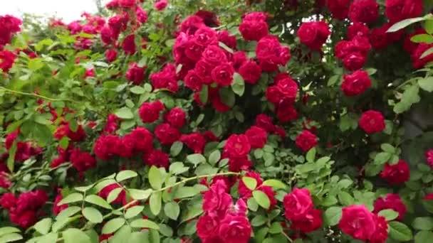 Krásné červené růže v zahradě na Valentýna