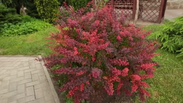 Bush Berberis v zahradě. Větve a listy pohybující se ve větru.
