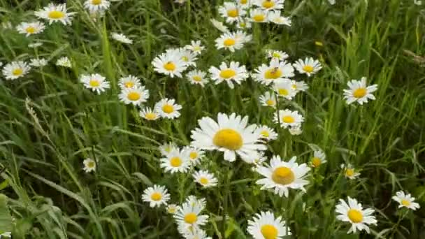 Beautiful meadow field with wild Ox-eye daisies.