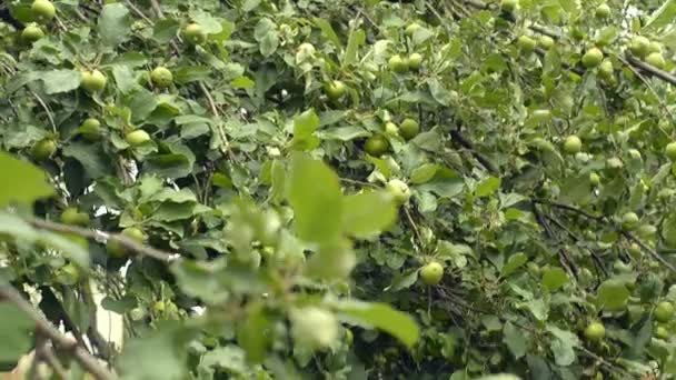 Delicious green apples, fruit tree, private orchard, horticulture.