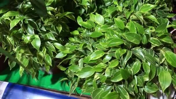 Krásné pokojové rostliny ficus se zelenými listy malé i velké v květináčích, 4k