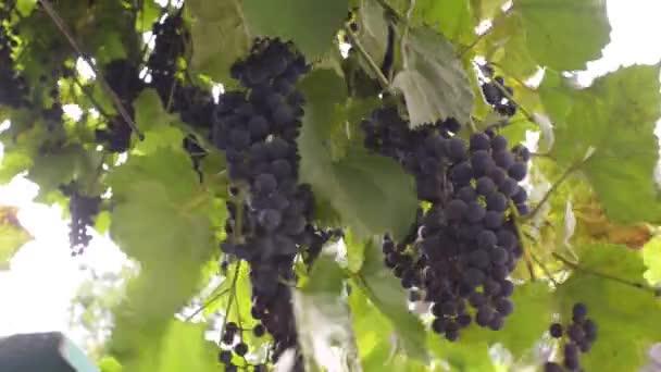 Egy fekete szőlőfürt, őszi szezon.